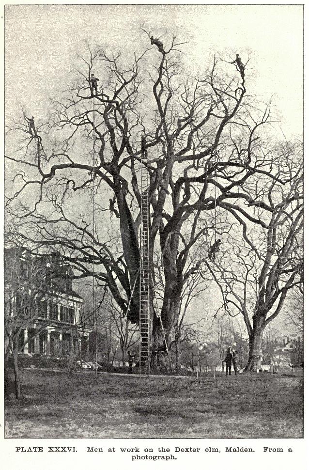 Uno de los olmos afectado por la polilla gitana en Malden. Alrededor de 1895.