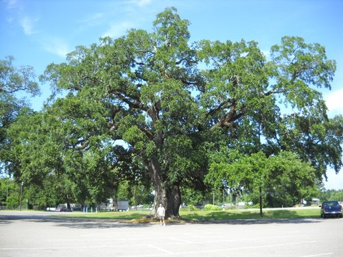 The Theodore Oak 2