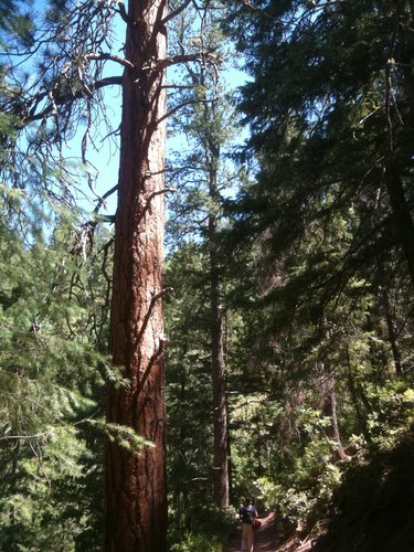 Randy Browne provides a sense of scale for this trailside giant ponderosa pine!