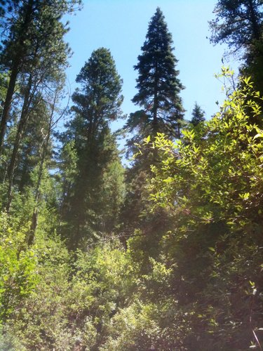 Ponderosa Pine, Colorado Blue Spruce, Gambel Oak are the species we see along the Hermosa Creek/Stony Fork trail, missing only the narrow leaf cottonwood in the upper reaches...