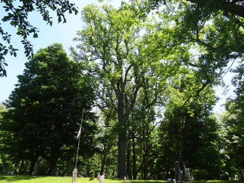 The larger and taller of two tuliptrees in Pioneer Cemetery, Phoenix, NY.