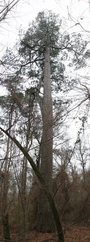 "The largest loblolly pine at the site: 11'4"" cbh x 135.5' tall"