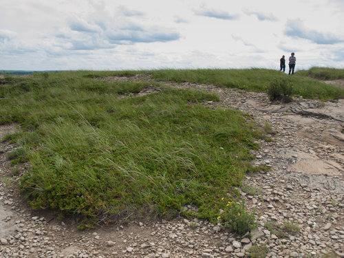 J. horizontialis and and Potentilla fruticosa on Buck Hill, in ND's alpine zone