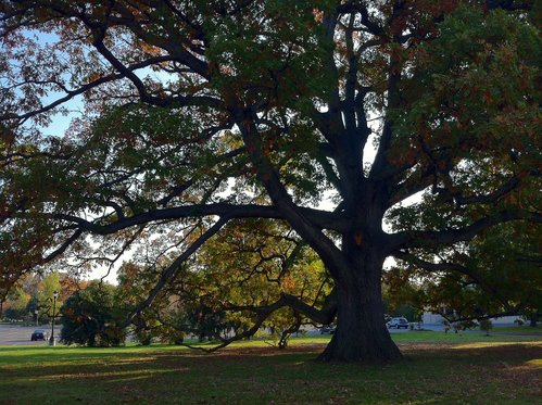 Collingswood Oak
