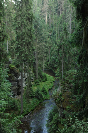 Norway spruces in Kirnizsch gorge. Left from the creek, Czech Republik.