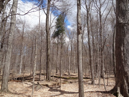 Convent woods:  note the number of downed logs.  Average canopy height here is about 105'.