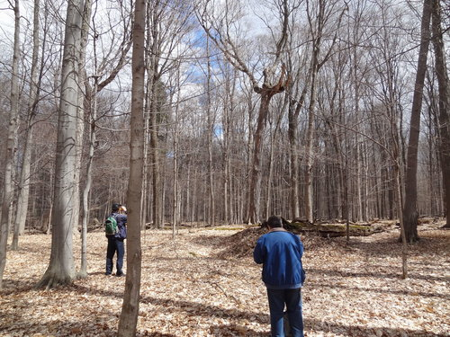 Crazy-looking sugar maple; Bob Henry on left, Tom Howard in foreground.  Note the pit and mound with downed log in center.