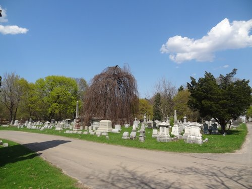 Young weeping beech in newer section of cemetery