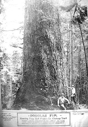 "My father, Leslie D. Lloyd,at ""his"" giant Douglas fir. Photo from the late 1930's."