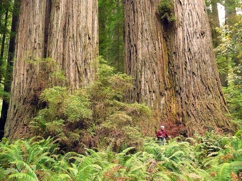 "My brother at the ""Screaming Titans"", Prairie Creek Redwoods (near Mill Cr.), CA."