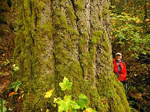 Darvel at the largest Douglas fir near the Portland (OR) metro area--at Oxbow Regional Park, 2014.