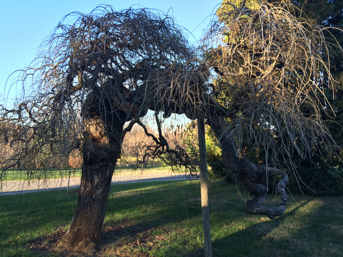 Gnarly scholar tree (Sophora japonica)~100 years old