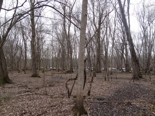 Typical Island forest scene (Seneca River in background)