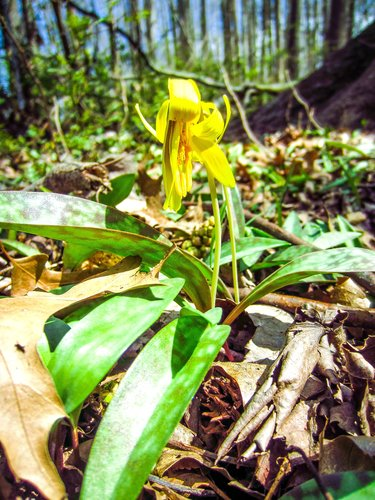 Trout Lilies are blooming!