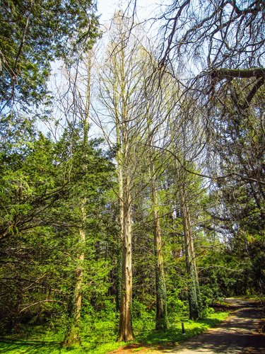 The tallest Dawn Redwood is center in this photo