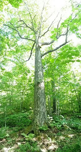 This is a panorama view of a 9'CBH yellow Birch.