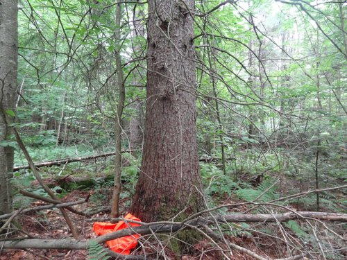 Tallest known Tamarack.  Orange vest for scale.