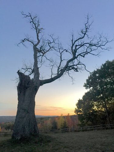 The Great Oak at sunset