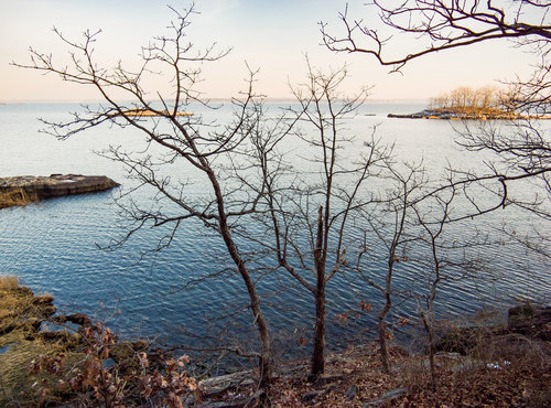 Some small oaks growing on the rock outcroppings over the Long Island Sound at sunset. The low one with leaves on at the bottom left is post oak; the taller leafless ones I did not identify, but white, black, and scarlet oaks also grow on the exposed maritime edges.