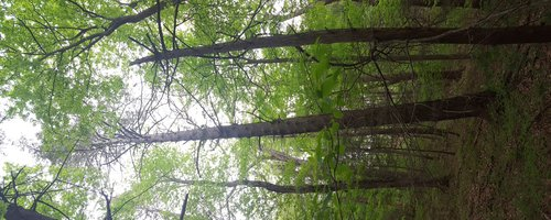 The tall hemlock.
