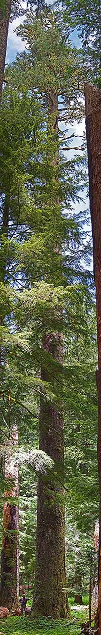 largest known noble fir stitched 200w.jpg