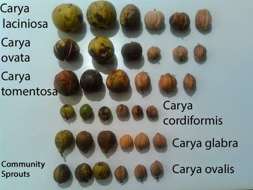Some types of Hickory Nuts