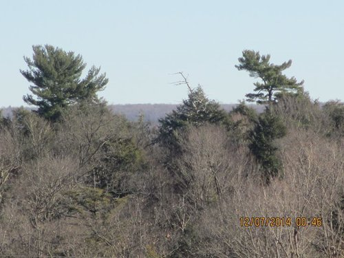 A distant view of the grove shows the Big Pine on the left and the Little Sister Pine on the right (photo by Chris Merchant).