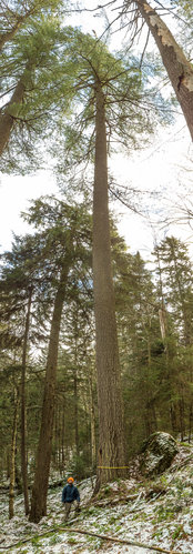 The 162.7' tall white pine!