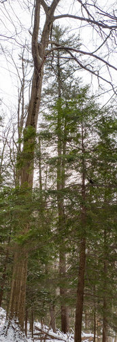 136.5' white pine. Most of the large pines had split leaders and/or some contortion to their stems.