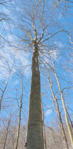 Columnar Beech 115.5', new max height for Chautauqua Gorge.