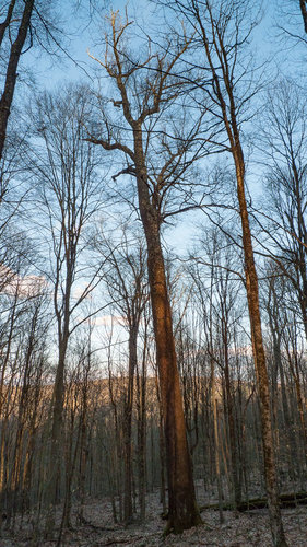 110.5'/11.3'cbh Black Cherry catching the last golden rays of sunlight. Very balded bark high up the trunk.