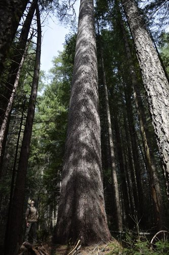 Brian under 5th tallest known living sugar pine.