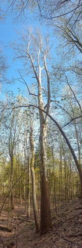This Sycamore is the tallest tree in the watershed as of this past May.