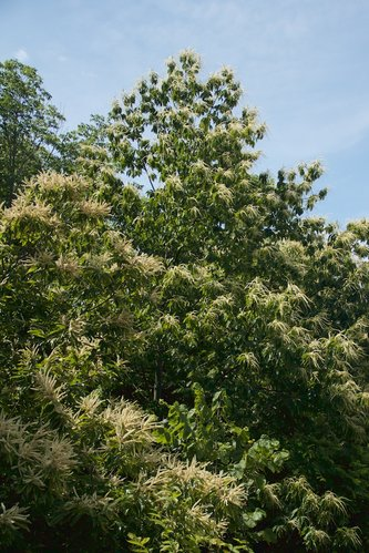 chestnut-bloom-full.jpg