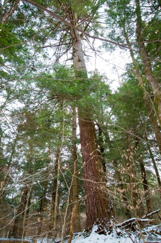 119.5' tall hemlock at the confluence of two smaller streams.