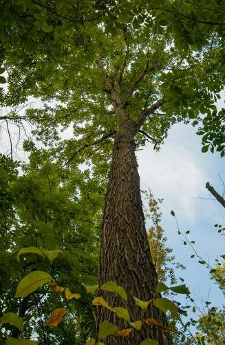 Looking up into the tallest Swamp White Oak.