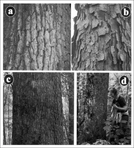 Examples-of-variation-bark-patterns-in-young-versus-old-trees-Here-Quercus-alba-at.jpg
