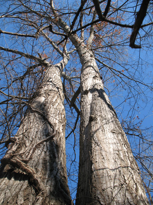 View up both trunks001.jpg