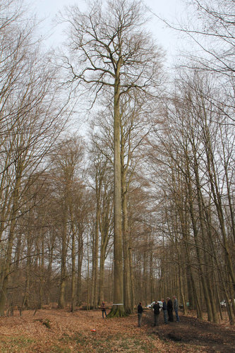 This beech with a branchefree trunk of 90 feet (height 140 ft) is called the Technobeuk = Technobeech by the Belgians
