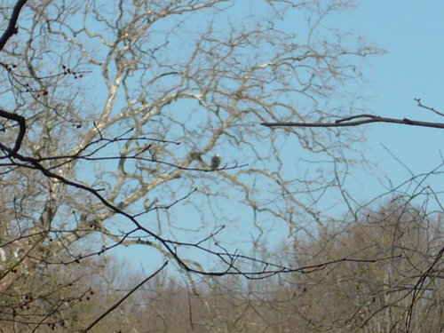 Bald eagle in a sycamore.