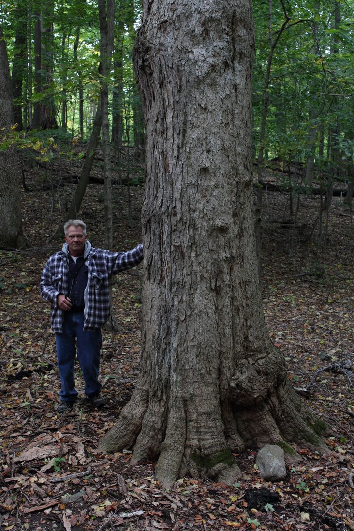 Sugar maple 107' x 9' 8''.jpg