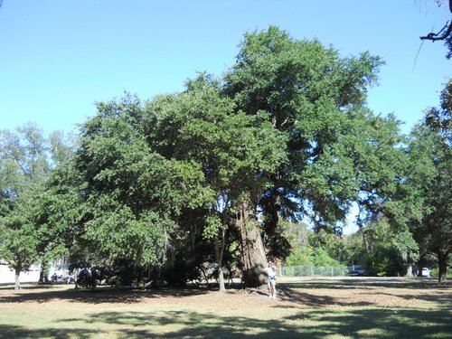 Jefferson Davis Oak