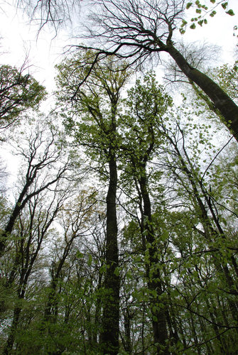 The tallest oak I measured in the Forêt de Bercé of 48.4 m (158.8 ft) is the tree with lightgreen leaves at the middle left; just to the right with leaves farther open is the oak of 46 m; to the right is a beech of 42 m tall still without leaves