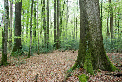 "Typical vieuw in the ""Futaie des Clos"" with old sessile oaks, younger beech and some undergrowth of Holly (Ilex aquifolium)"