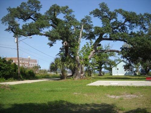 The Katrina Oak
