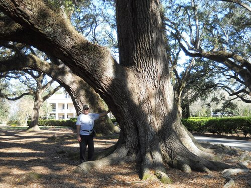 One of several larger Live Oaks in the back of the Mansion