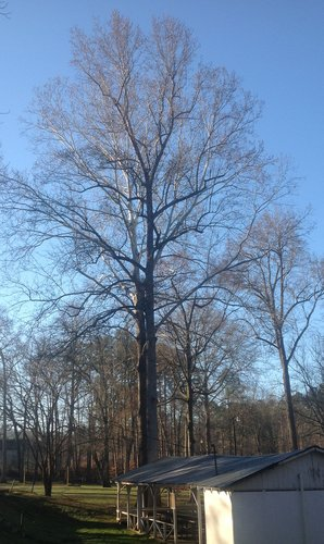"115.9', 7', 11"" CBH ""parking lot"" Tulip Poplar in the foreground.  Sycamore from first picture above in the background."