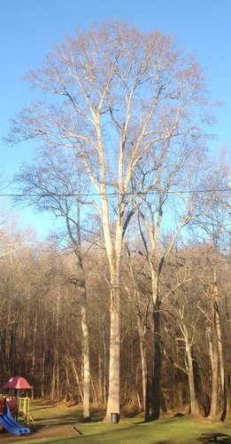 "112.6', 9', 2"" CBH Tulip Poplar (aka the garbage can TP)"