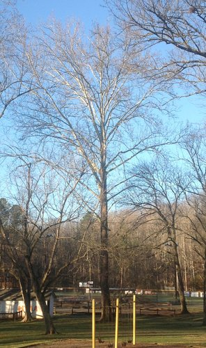 "114.4', 10', 7"" CBH Sycamore near concession stand"